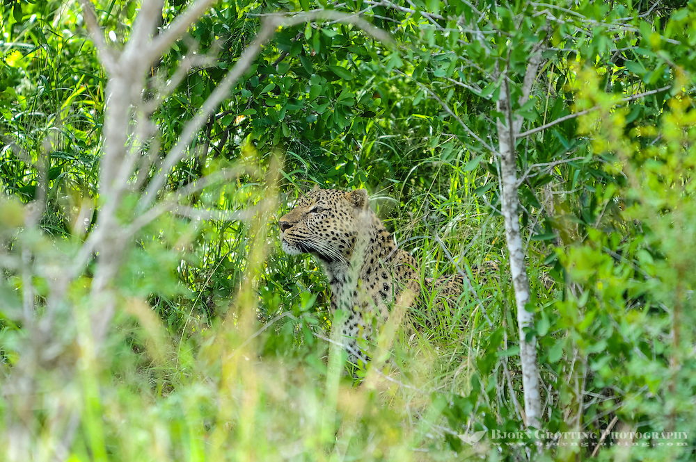 African leopard in the Kruger National Park, the largest game reserve in South Africa.