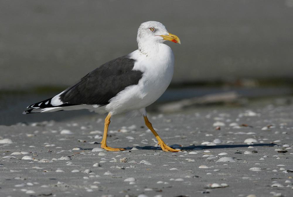 Lesser Black-backed Gull - Larus fuscus - winter adult