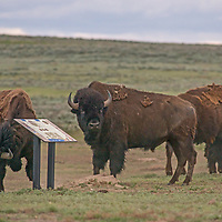 An American bison (Bison bison) scratches his neck on an interpretive sign  on the American Prairie Reserve in Phillips County, Montana.
