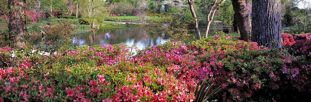 Azaleas florish at Magnolia Plantation, near Charleston, South Carolina.