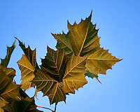 Back Side of Sycamore Leaves in Early Morning Light. Image taken with a Nikon D800 and 600 mm f/4 VR lens (ISO 160, 600 mm, f/4, 1/500 sec).
