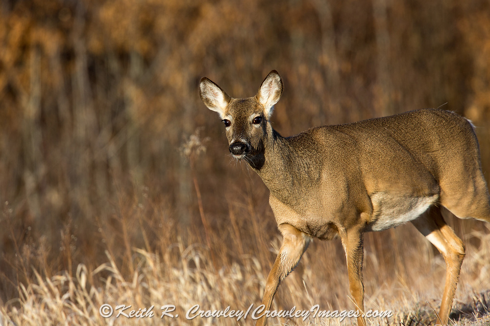 Whitetail does in early spring habitat