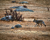 Coyote in Rocky Mountain National Park looking for lunch. Winter nature in Colorado. Image taken with a Nikon D300 camera and 300 mm f/2.8 VR lens with a TCE-20 teleconverter (ISO 200, 600 mm, f/5.6, 1/800 sec).