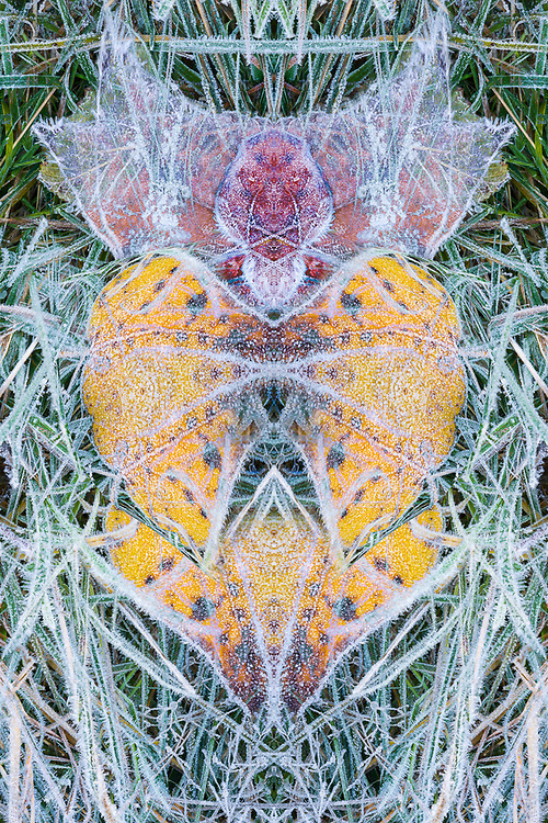 """""""Cottonwood Songbird"""", derivative image from a photo of autumn cottonwood leaves and frost, Olympic National Park, Washington, USA"""
