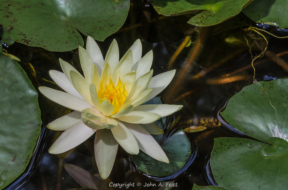 There is so much life in the pond around this lotus.  The wonderful whites and yellows of the bloom, the leaves and growth all around it.
