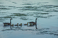 Family of Geese, Monona Bay