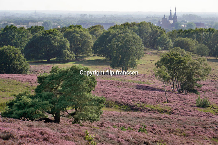 Nederland, Mook, 23-8-2019Natuurgebied De Mookerheide. Nu het even geregend heeft staat de hei mooi in bloei. Toch zijn er door de droogte van dit en viorig jaar veel heistruiken dood gegaan, verdord.Ook bekend om de historische Slag op de Mookerheide op 14 april 1574. De Mookerhei is een natuurgebied ten oosten van Mook in de provincie Limburg. Zij ligt op een uitloper van de Nijmeegse stuwwal. In het zuidelijke deel groeit struikheide die normaal in augustus prachtig bloeit. Dit gebied is onderdeel van de wandelroute, pelgrimsroute, walk of wisdom door het rijk van Nijmegen. Op de achtergrond de markante kerk met twee spitsen van Cuijk, cuykFoto: Flip Franssen