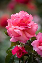 Rosa 'Brave Heart' syn. R. 'Braveheart', 'Horbondsmile'