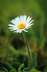 Common daisy growing in a lawn. Bellis perennis