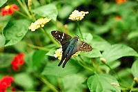 Close-up of a long-tailed skipper in the Florida Caverns State Park.
