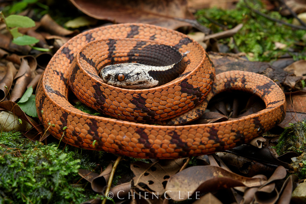 A juvenile Bornean Dark-necked Slug Snake (Asthenodipsas borneensis). This nocturnal species feeds on slugs and snails in low vegetation. Recently split from A. malaccanus of the Malay Peninsula and Sumatra. Kubah National Park, Sarawak, Malaysia (Borneo).