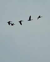 Canada Geese. Image taken with a Nikon 1 V3 camera and 70-300 mm VR lens.