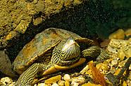 Map Turtle, Underwater