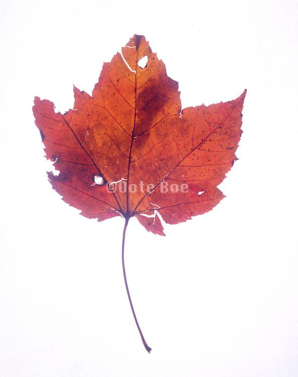 Still life of a decaying leaf.