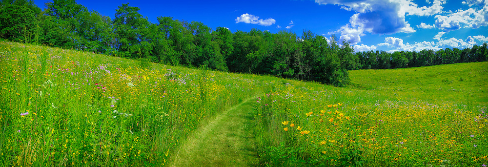 Panoramic view of midwestern prairie's gently rolling hills, with central pathway leading through profuse bloom of native wildflowers.  Composite of six images.