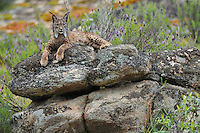 Iberian Lynx (Lynx pardinus) female<br /> Sierra de Andújar Natural Park, Mediterranean woodland of Sierra Morena, north east Jaén Province, Andalusia. SPAIN<br /> RANGE: Iberian Penninsula of Spain & Portugal.<br /> CITES 1, CRITICAL - DANGER OF EXTINCTION<br /> Fewer than 200 animals in the wild. There is a reduced genetic variability due to their small population. They have suffered due to hunting, habitat loss and road accidents, but the most critical threat today is the reduced numbers of wild Rabbits (Oryctolagus cuniculus) within the lynx's range. The rabbits are the principal food source of the lynx and they are suffering from deseases such as Myxomatosis & Rabbit haemoragic virus. The lynx is also suffering from deseases such as feline leukaemia<br /> A medium sized cat weighing 12-15kgs, Body length 90cm, Shoulder height 45-50cm. They have a mottled fur pattern, (3 varieties of fur pattern found between the different populations and distinguishing them geographically)  short tail, ear tufts and are bearded. They are territorial cats although female cubs have been found to share their mother's territory. Mating occurs in Dec/Jan and cubs born around April. They live up to 13 years.