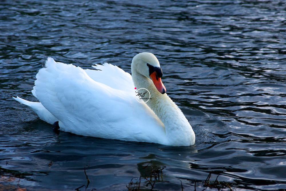 Swan, Crestwood Kentucky