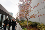 People enjoy early sakura ,or cherry blossoms, on trees in the garden on top of the Ginza 6 shopping mall. Ginza, Tokyo, Japan. Friday February 9th 2018