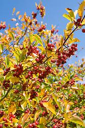 Berries of Cockspur thorn - Crataegus crus-galli