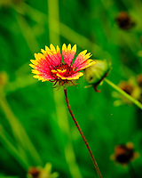 Blanket Flower. Image taken with a Fuji X-T3 camera and 80 mm f/2.8 macro lens