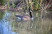 Canadian Goose At El Dorado Regional Park