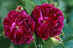 Rosa ' Charles de Mills'