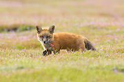A young red fox (Vulpes vulpes) kit walks in the colorful prairie of the San Juan Island National Historical Park on San Juan Island, Washington. Red foxes were introduced to San Juan Island on various occasions in the 1900s.