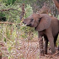 Africa, Kenya, Meru. Young Elephant with raised trunk.