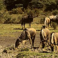 Africa, Tanzania, Serengeti. Wildebeest.