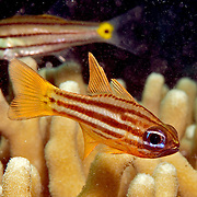 Splitband Cardinalfish shelter in branching corals or recesses in reef. Picture taken Palau.