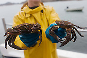 Local fisherman Neil Cameron shows creel-caught velvet and Green Crab caught between Fionnphort and Iona, Isle of Mull, Scotland. The contents of 500 creels is taken every week by truck and sold to Spain. On each line are 25 creels that are spaced out in different areas of the nearby bays. The main fishing on the Ross of Mull, Ulva Ferry and Tobermory is now is commercial shell fishing with baited traps (creels) for lobsters (homarus gamarus), edible brown crabs (cancer pagurus), Prawn (Norwegian Lobster) and velvet swimming crab (necora puber). Scallop dredgers and Prawn trawlers also operate from both ends of the island, dragging the seabed for their catch. Before the late 1960s shell fishing with creels was generally carried out on a seasonal or part time basis allied to crofting, farming or another shore based job.