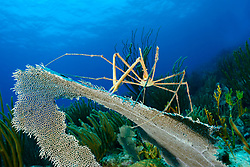 Stenorhynchus seticornis, Gespensterpfeilkrabbe im Korallenriff, Coralreef with yellowline arrow crab, Insel Cooper, Britische Jungferninsel, Karibik, Karibisches Meer, Cooper Island, British Virgin Islands, BVI, Caribbean Sea