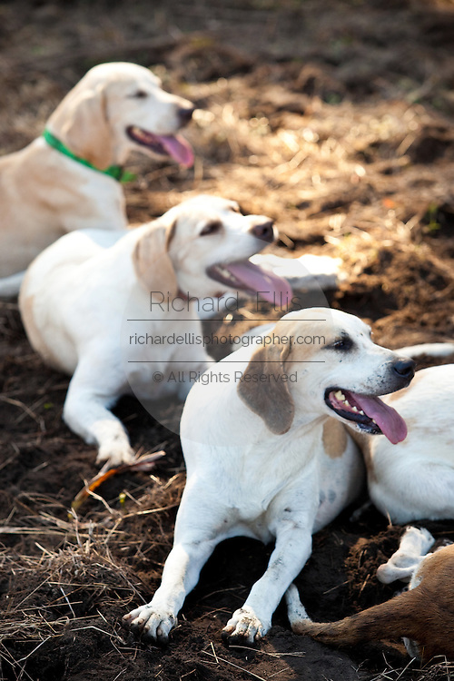 Foxhounds rest during a break in the hunt at the start of the fox hunting season November 29, 2009 at Middleton Place plantation in Charleston, SC. The hunt is a drag hunt where a scented cloth is used instead of live fox