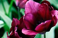 Triumph Tulip 'Yolanthe' Keukenhof Spring Tulip Gardens, Lisse, The Netherlands.