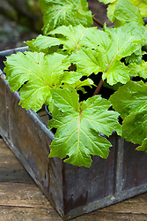 Taking root cuttings from pot grown Acanthus mollis 'Hollard's Gold'. Pot grown specimens ready for root cuttings
