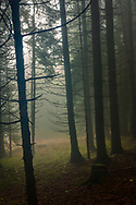 Pine forest in Rhodope Mountains