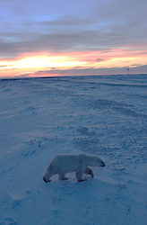 Photo: 20258..Canadas polar bear country around Churchill, Manitoba, at Gordon Point and nearby at Cape Churchill in Wapusk National Park on the south edge of Hudson Bay.  Photos of polar bears males, females, and cubs.  Fauna includes polar bears, arctic hares, and arctic foxes.  Landscapes of the tundra terrain and ice forming on Hudson Bay, plus sunrises and sunsets.  Polar bear viewing in Tundra Buggies while staying at the Tundra Buggy Lodge, operated by Frontiers North.  Photo copyright Lee Foster, 510-549-2202, lee@fostertravel.com, www.fostertravel.com.