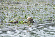 California sea otter, Enhydra lutris nereis ( threatened species ), female with nose scarred by bites from male during mating, resting while wrapped in eel grass or eelgrass, Zostera sp. to keep from floating away, Elkhorn Slough, Moss Landing, California, United States ( Eastern Pacific )