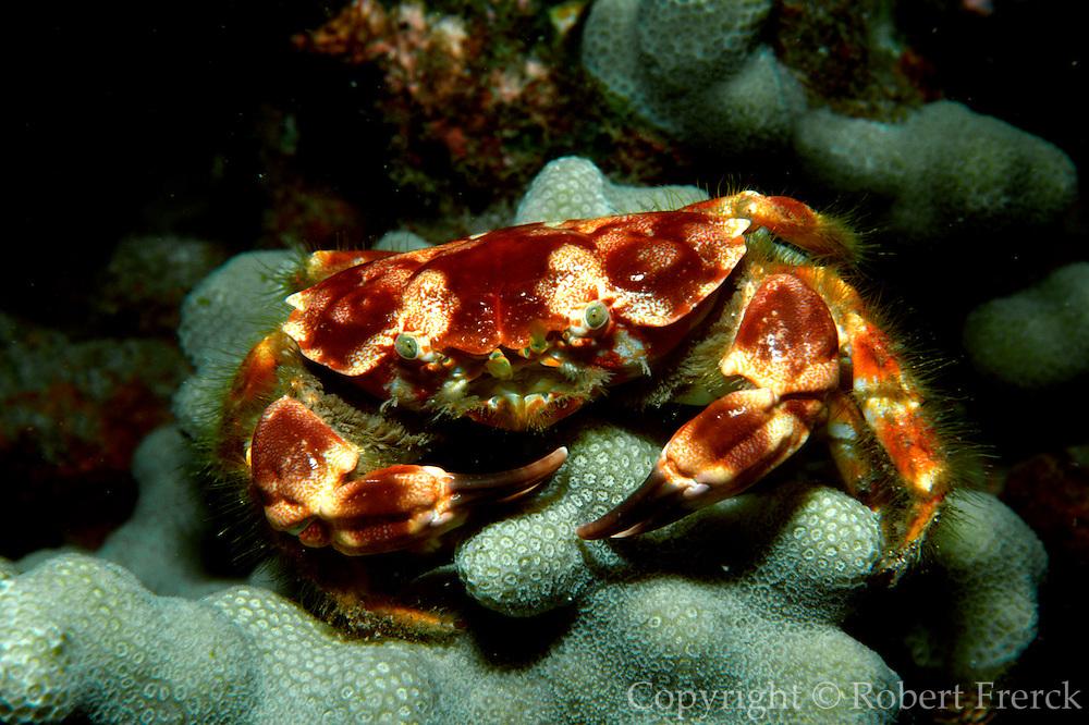 UNDERWATER MARINE LIFE HAWAII CRABS: Reef crab Xanthidae