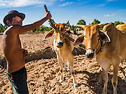 02 JUNE 2016 - SIEM REAP, CAMBODIA: LERN, a Cambodian farmer who has been farming all his life, with a team of oxen he hired to till his land and prepare the fields for planting rice near Seam Reap. Cambodia is in the second year of  a record shattering drought, brought on by climate change and the El Niño weather pattern. Farmers in the area say this is driest they have ever seen their fields. They said they are planting because they have no choice but if they rainy season doesn't come, or if it's like last year's very short rainy season they will lose their crops.      PHOTO BY JACK KURTZ