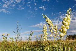 Blue sky and Arkansas yucca (Yucca arkansana) on Blackland Prairie remnant, White Rock Lake, Dallas,Texas, USA