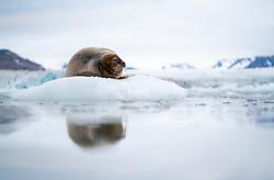 Bearded seal (Erignathus barbatus) sleeping peaceful on glacier ice in front of the Kongsbreen glacier, Kongsfjord, Spitsbergen, Svalbard, Norway
