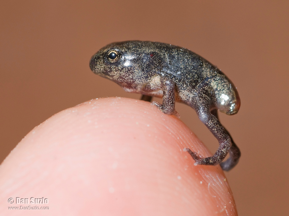 Metamorphosing black-spined toad, Duttaphrynus melanostictus, on the photographer's index finger.  Toadlet has four legs and is able to breathe air and walk on land, but has not fully resorbed its tail.  Dili District, Timor-Leste (East Timor).