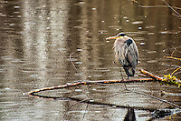 A great blue heron in winter plumage stands on one leg over a pond in Washington's Nisqually National Wildlife Refuge, waiting out the rain on a very chilly morning.