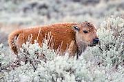 American Bison (Buffalo) calf in habitat