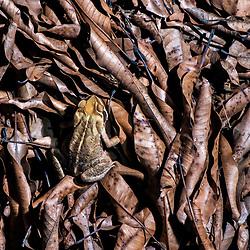 """Sapo-cururu (Rhinella crucifer) fotografado em Cariacica, Espírito Santo -  Sudeste do Brasil. Bioma Mata Atlântica. Registro feito em 2012.<br /> <br /> <br /> <br /> ENGLISH: Toad photographed in the city of Cariacica, Espírito Santo - Southeast of Brazil. Atlantic Forest Biome. Picture made in 2012."""