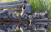REFLECTIONS ON FECUNDITY   Male Gambel's quail and (mostly) his fitness consequences