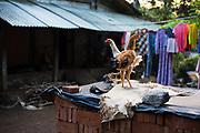 Chicken in a local village near mount Merapi