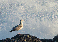 Western Gull, Larus occidentalis, stands on a rock on the Pacific Coast in Sonoma County, California