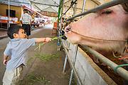 """27 NOVEMBER 2012 - BANGKOK THAILAND:  A boy feeds an albino water buffalo at Wat Sri Boonreung on Klong Saen Saeb in Bangkok, Thailand. People """"make merit"""" by feeding the temple's cows and water buffalo.            PHOTO BY JACK KURTZ"""